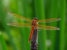 The red dragonfly